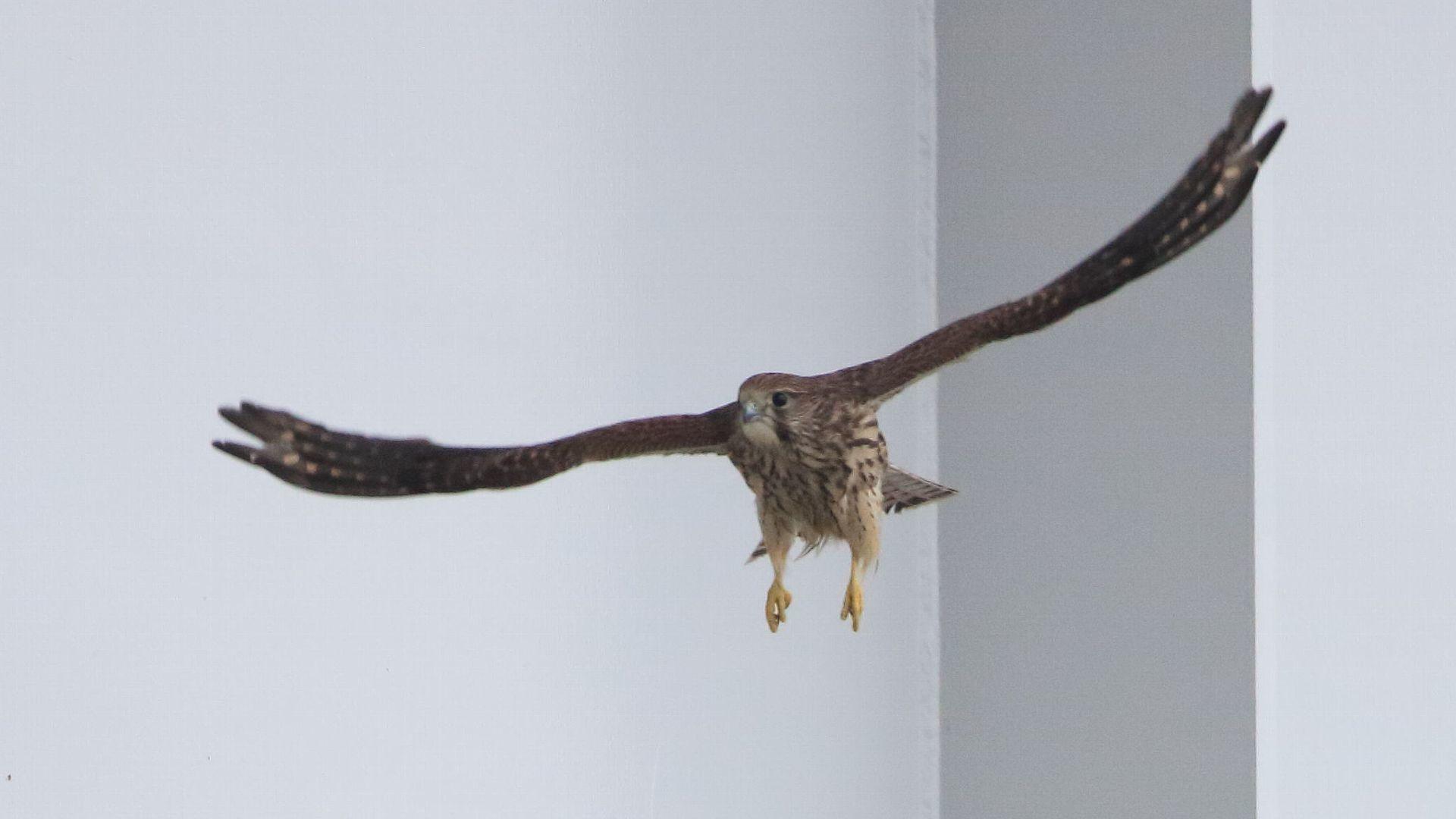 チョウゲンボウ幼鳥の飛び出し_f0105570_21072209.jpg