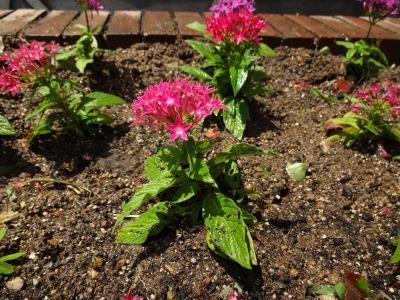 ガーデンふ頭総合案内所前花壇の植替えR2.6.15_d0338682_17020134.jpg