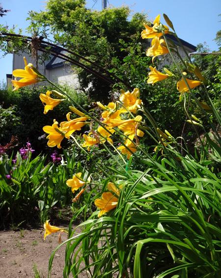 ニッコウキスゲ、タータン麦、モリモリ咲いてるバイカウツギなど♪_a0136293_13580458.jpg