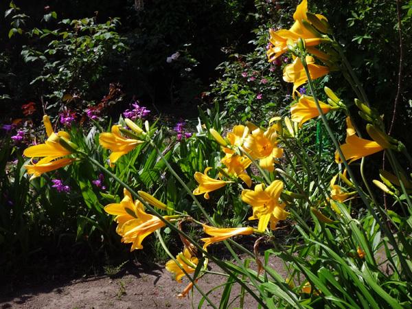 ニッコウキスゲ、タータン麦、モリモリ咲いてるバイカウツギなど♪_a0136293_14044763.jpg