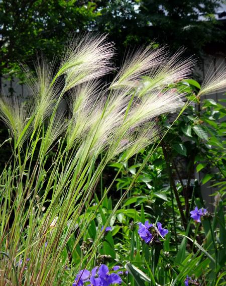 ニッコウキスゲ、タータン麦、モリモリ咲いてるバイカウツギなど♪_a0136293_14072030.jpg