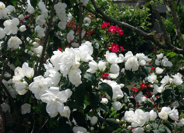 ニッコウキスゲ、タータン麦、モリモリ咲いてるバイカウツギなど♪_a0136293_14110257.jpg