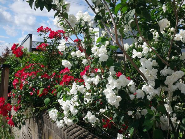 ニッコウキスゲ、タータン麦、モリモリ咲いてるバイカウツギなど♪_a0136293_14133419.jpg