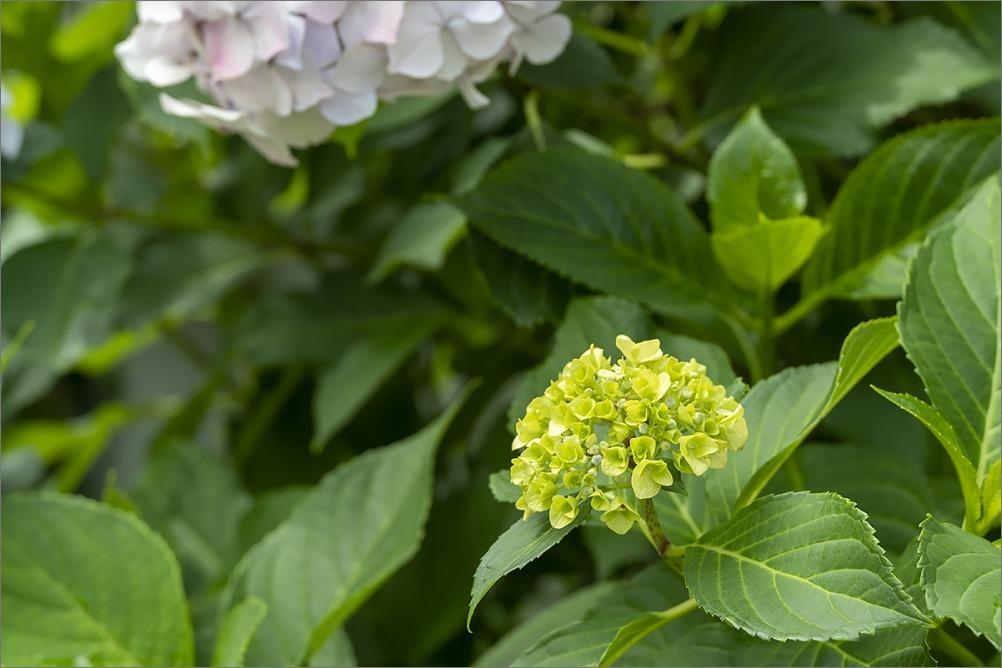 またまた紫陽花です。 東京Step3_4 6月15日(月) 6945_b0069507_05033329.jpg