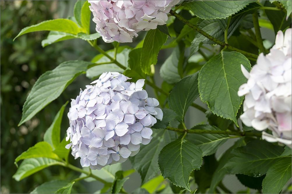 またまた紫陽花です。 東京Step3_4 6月15日(月) 6945_b0069507_05033398.jpg
