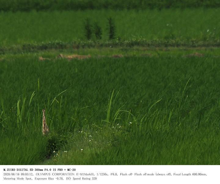 印旛沼北部調整池 2020.6.16(1)_c0062451_20593869.jpg