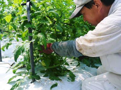 樹上完熟の朝採りトマト 本日より令和2年の予約受付スタートしました!初回出荷は6月23日(火)です!_a0254656_18503389.jpg
