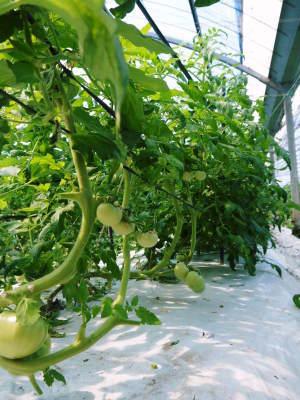 樹上完熟の朝採りトマト 本日より令和2年の予約受付スタートしました!初回出荷は6月23日(火)です!_a0254656_19034893.jpg