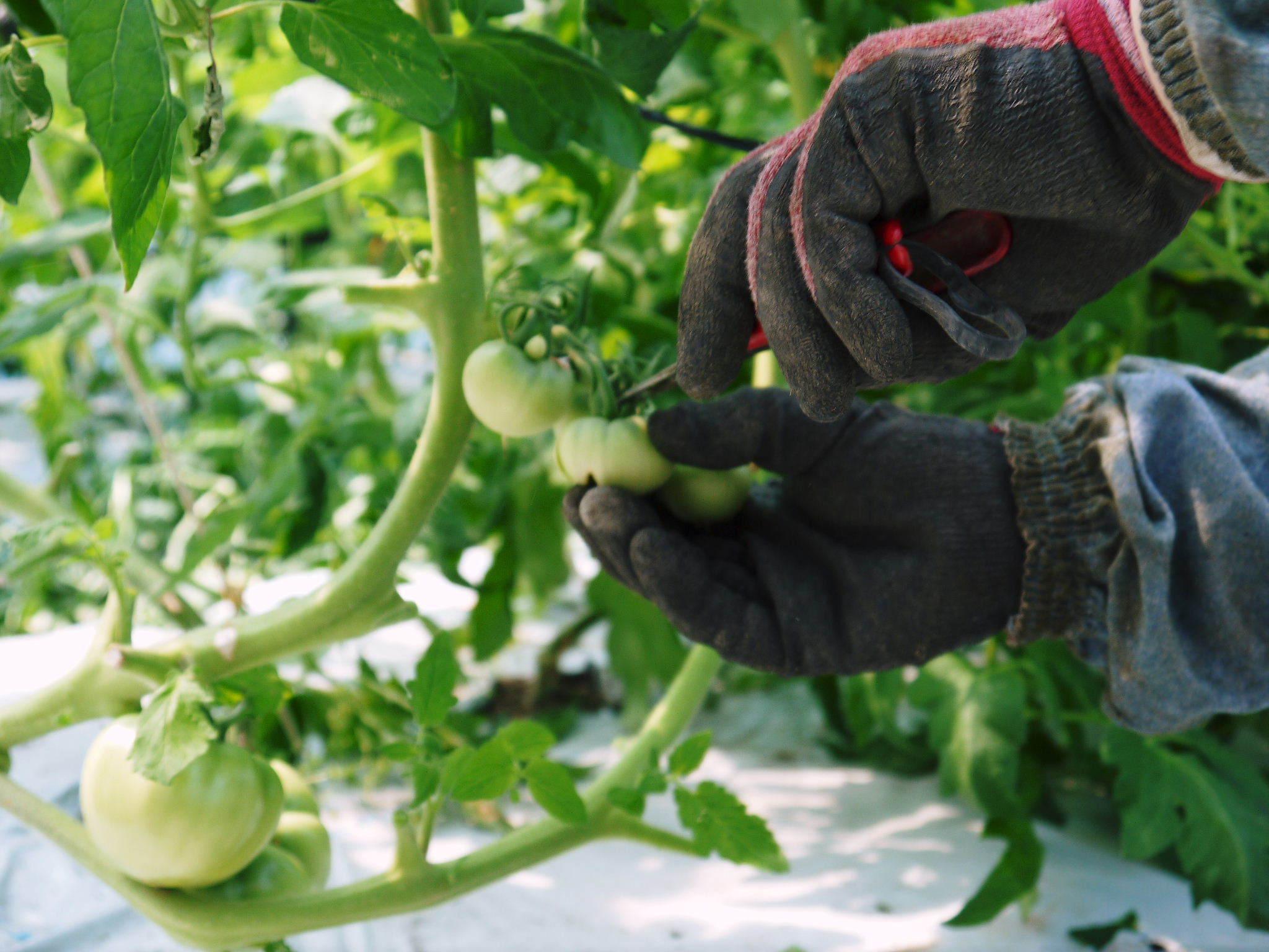 樹上完熟の朝採りトマト 本日より令和2年の予約受付スタートしました!初回出荷は6月23日(火)です!_a0254656_19060736.jpg