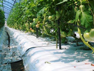 樹上完熟の朝採りトマト 本日より令和2年の予約受付スタートしました!初回出荷は6月23日(火)です!_a0254656_19113629.jpg