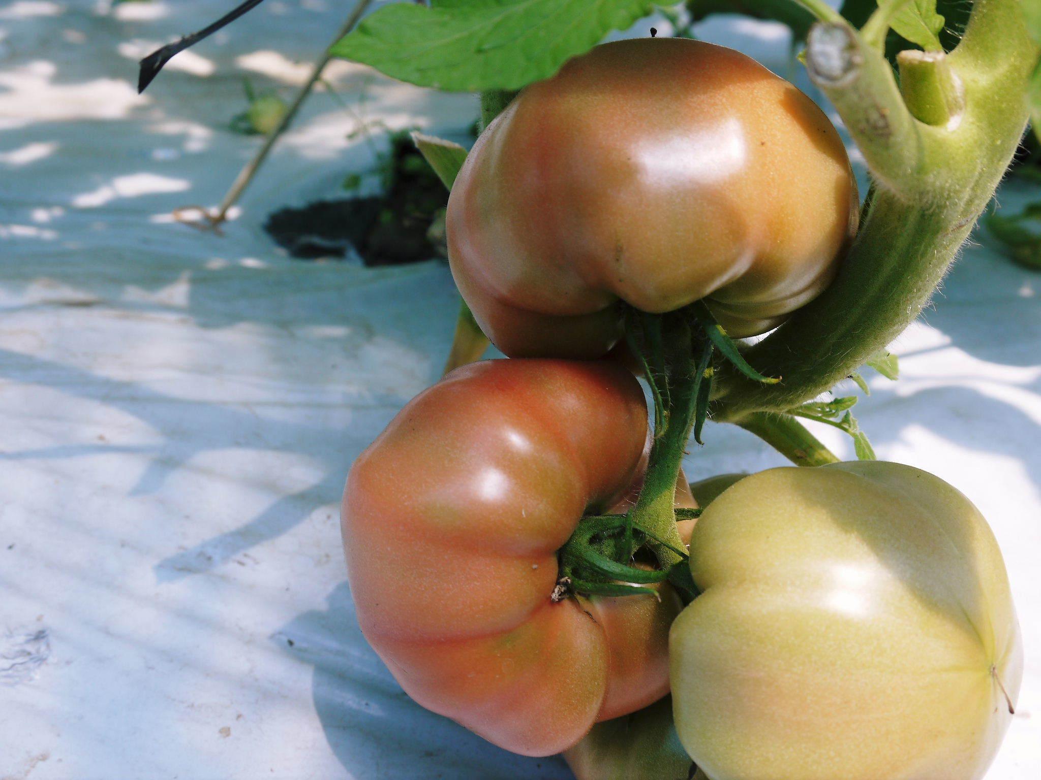 樹上完熟の朝採りトマト 本日より令和2年の予約受付スタートしました!初回出荷は6月23日(火)です!_a0254656_19155362.jpg