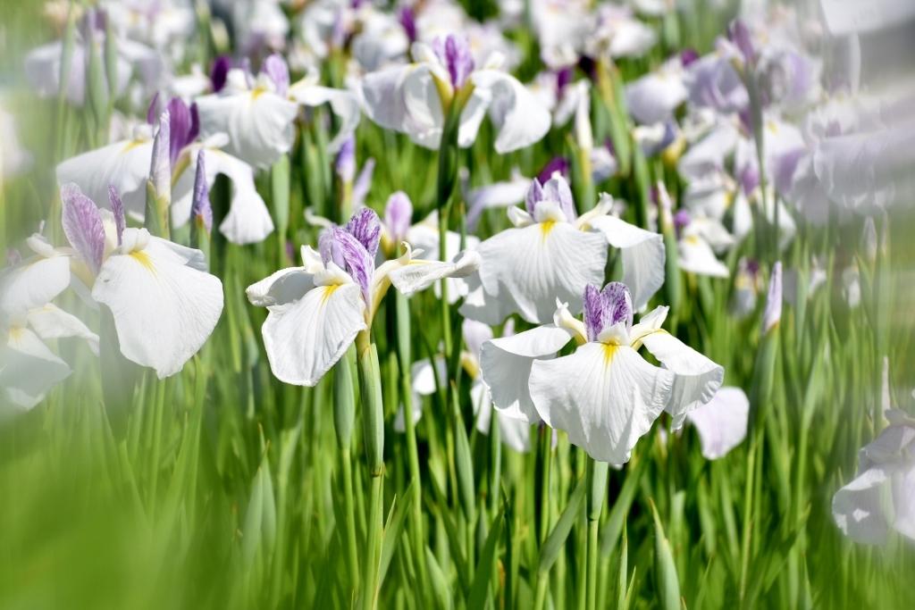 花ショウブ_a0355356_08330205.jpg