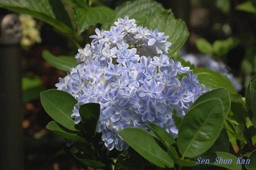 庭の紫陽花  2020年6月16日 _a0164068_23090916.jpg