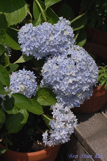 庭の紫陽花  2020年6月16日 _a0164068_23090923.jpg