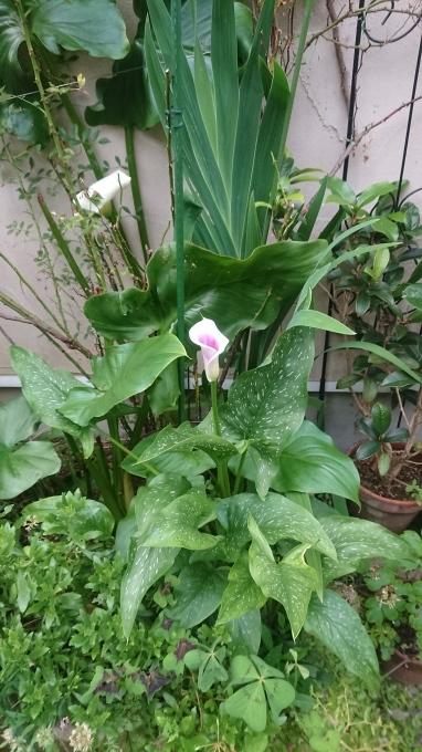 ピカソ開花と三種類のパン_f0035506_23071200.jpg