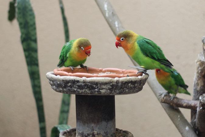 上野動物園バードハウス大図鑑⑧~2F:ミノバトとカンムリシャコ_b0355317_21223920.jpg
