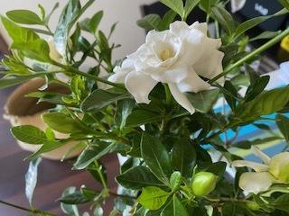 クチナシの花_c0051529_10413392.jpg