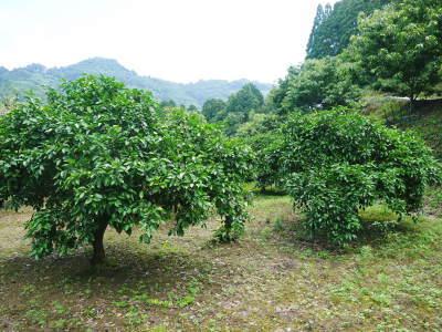 無農薬栽培の『種なしかぼす』 着果の様子を現地取材!令和2年も8月中旬からの出荷予定なのですが・・・_a0254656_18481756.jpg
