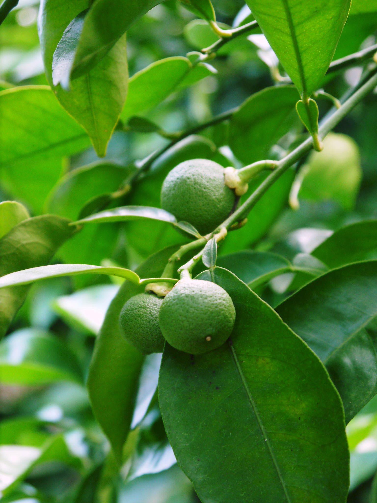 無農薬栽培の『種なしかぼす』 着果の様子を現地取材!令和2年も8月中旬からの出荷予定なのですが・・・_a0254656_19020856.jpg