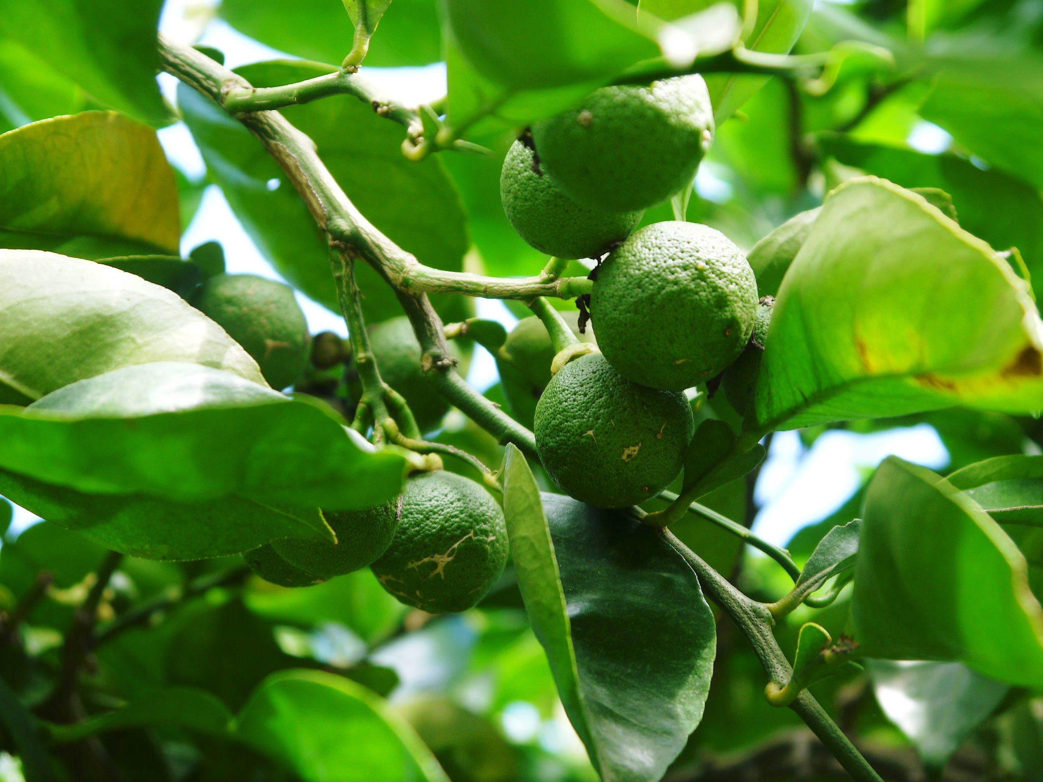 無農薬栽培の『種なしかぼす』 着果の様子を現地取材!令和2年も8月中旬からの出荷予定なのですが・・・_a0254656_19062036.jpg