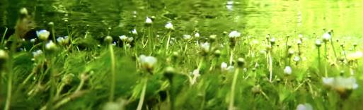 水中花 梅花藻 (水中のバイカモ)をみにいきたい!_f0051464_18040441.png