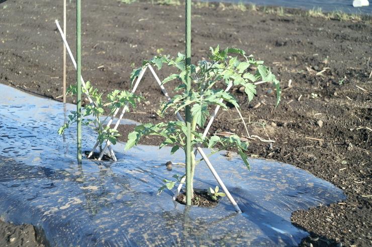スイカと大玉トマトの定植_d0225575_18575395.jpg