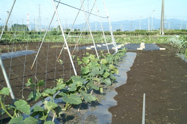 スイカと大玉トマトの定植_d0225575_19012012.jpg