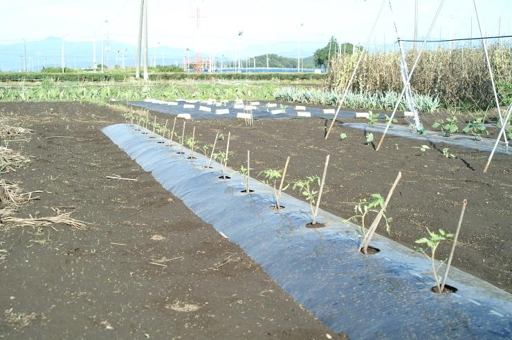 スイカと大玉トマトの定植_d0225575_19015024.jpg
