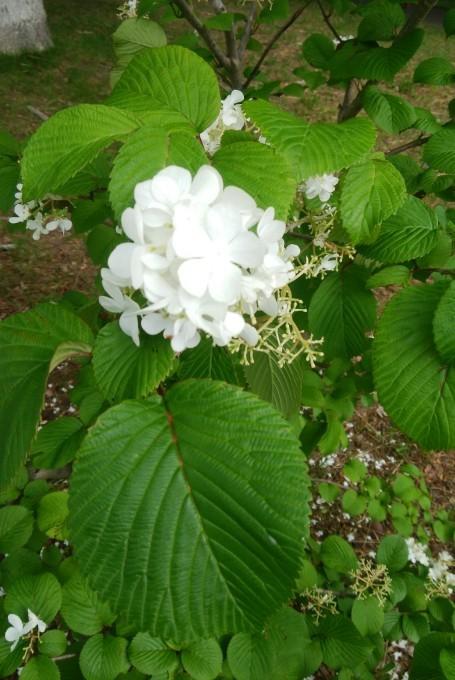 ヤブデマリの花。_c0209379_17494189.jpg