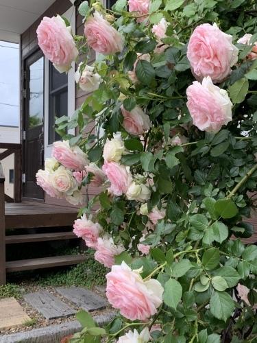 モサモサと花びらが増えてくるようです ぐぐぐぐーーー_a0134394_08595131.jpeg