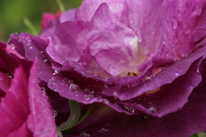 薔薇と水滴_d0162994_08073085.jpg