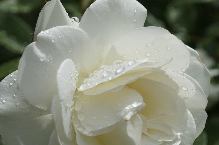 薔薇と水滴_d0162994_08074314.jpg