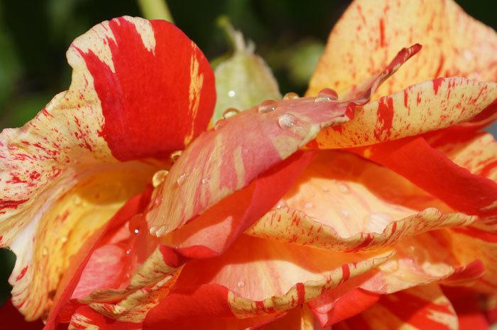 薔薇と水滴_d0162994_08075813.jpg