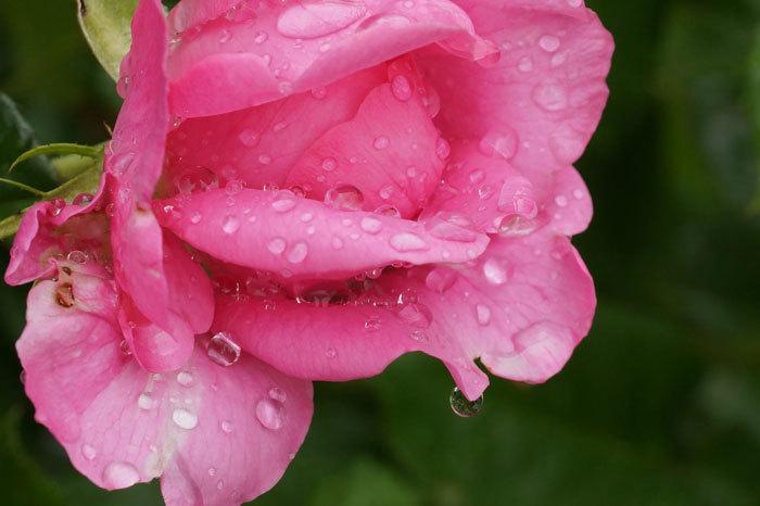 薔薇と水滴_d0162994_08081224.jpg