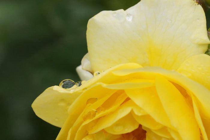 薔薇と水滴_d0162994_08083568.jpg