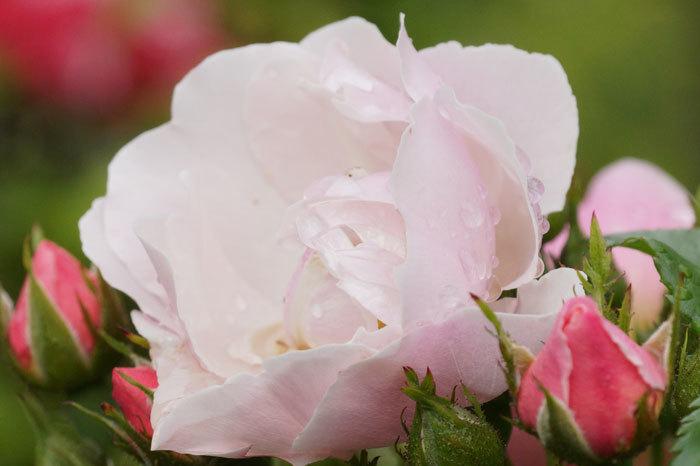 薔薇と水滴_d0162994_08143204.jpg