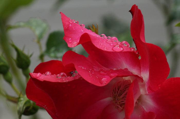 薔薇と水滴_d0162994_08243999.jpg
