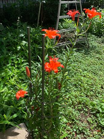 6月の庭  2020 - 3_f0239100_01322090.jpg