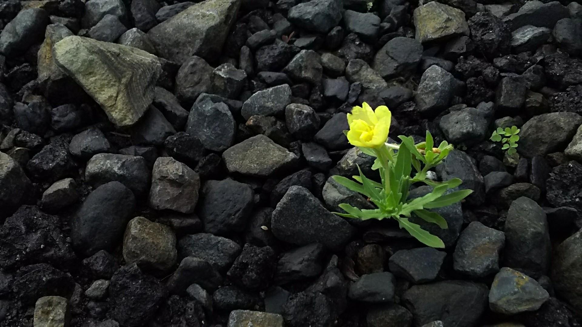 6月18日 アスファルトに咲く月見草。_a0204408_22343125.jpg