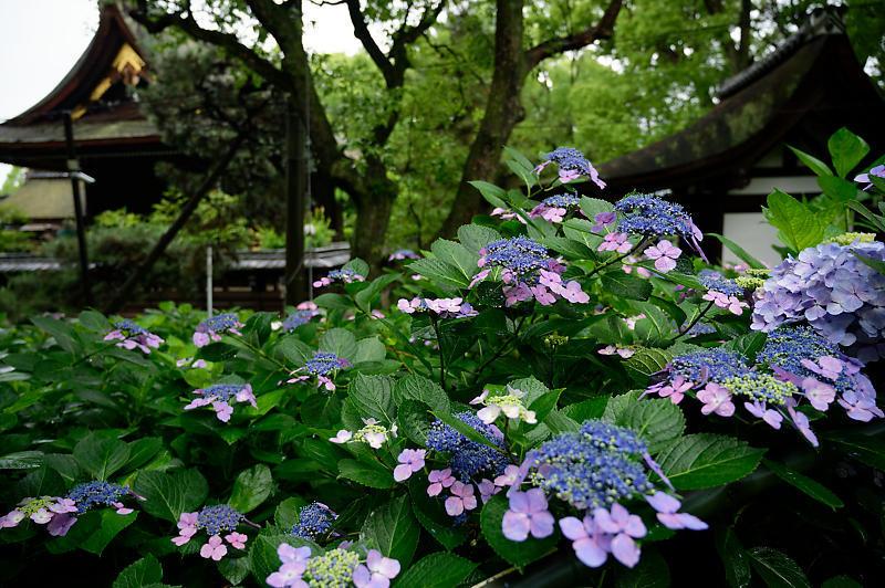 紫陽花@藤森神社_f0032011_18452905.jpg