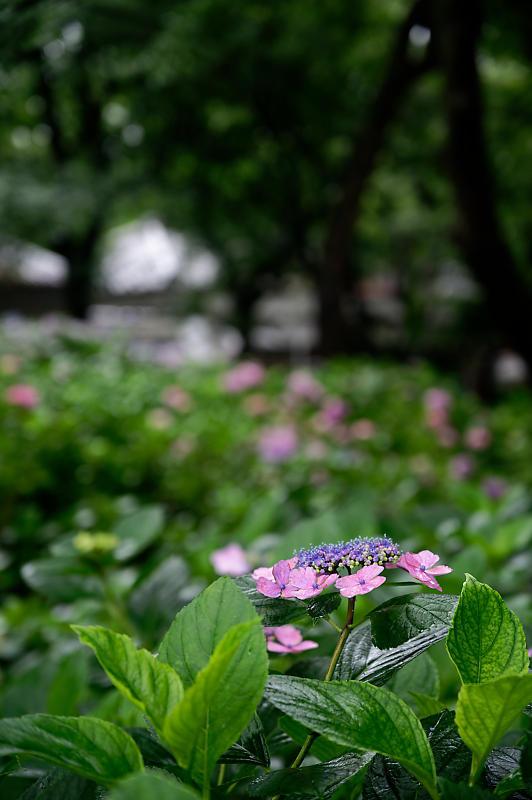 紫陽花@藤森神社_f0032011_18452914.jpg