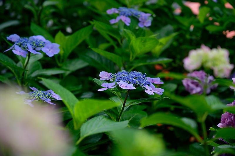 紫陽花@藤森神社_f0032011_18452965.jpg