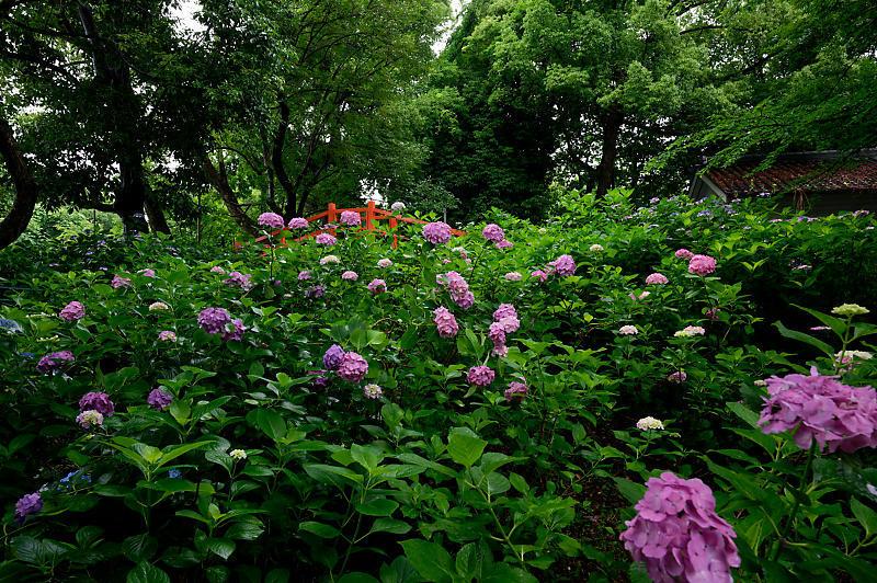 紫陽花@藤森神社_f0032011_18452978.jpg