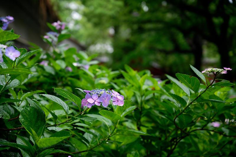紫陽花@藤森神社_f0032011_18452991.jpg