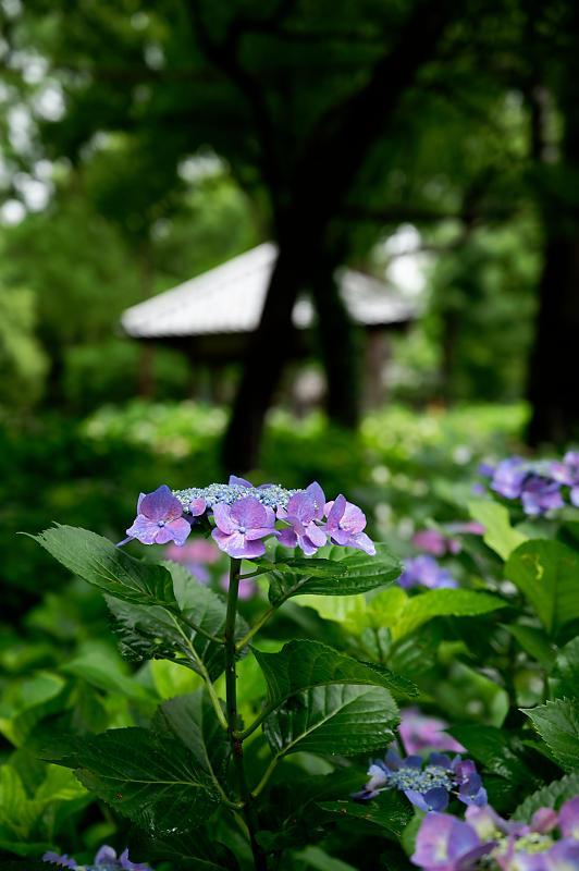 紫陽花@藤森神社_f0032011_18453009.jpg