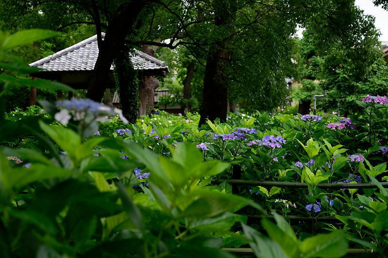 紫陽花@藤森神社_f0032011_18453020.jpg