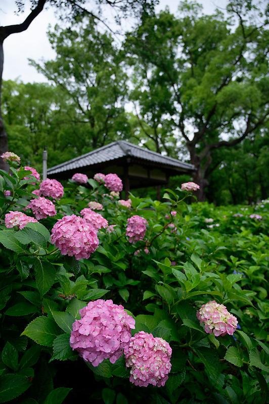 紫陽花@藤森神社_f0032011_18453068.jpg