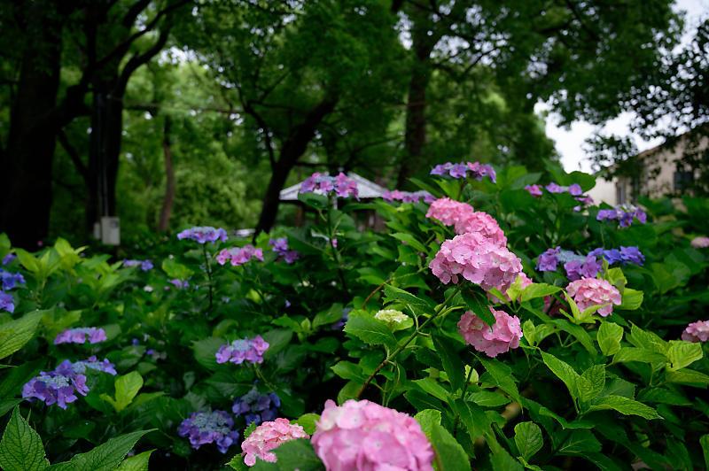 紫陽花@藤森神社_f0032011_18453084.jpg