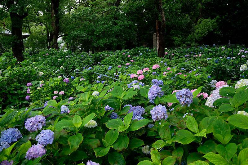 紫陽花@藤森神社_f0032011_19180019.jpg