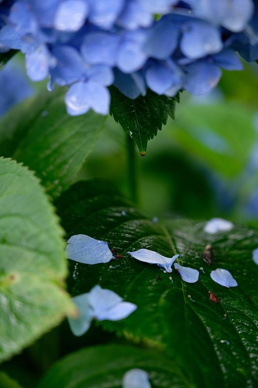 紫陽花@藤森神社_f0032011_19180024.jpg